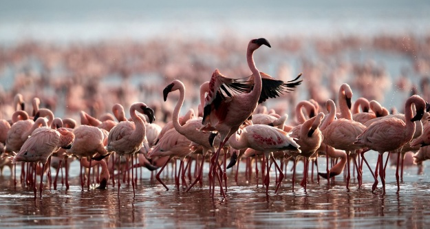 Savaşı flamingolar kazandı