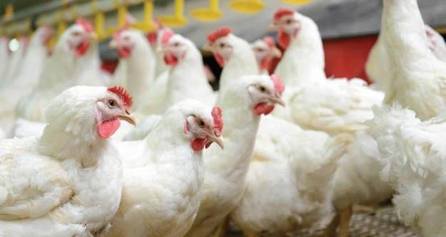 Japonya'da kuş gribi vakası: 44 bin kümes hayvanı itlaf edilecek