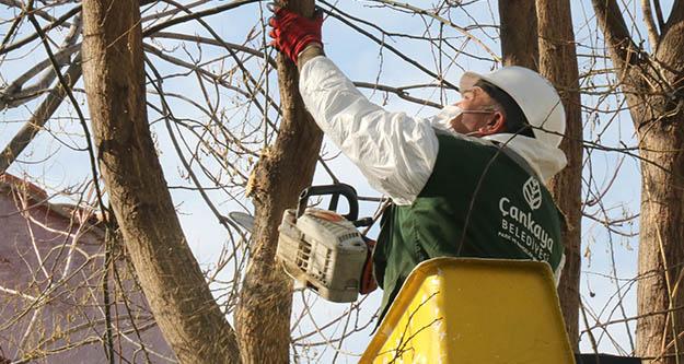 Çankaya Belediyesi, ağaç bakımlarına devam ediyor
