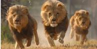 Dört aslanda koronavirüs tespit edildi