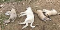 Ankara'da hayvan vahşeti: Zehirlenen 8 köpekten 4'ü öldü